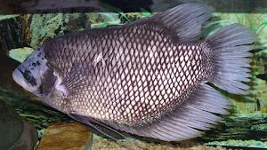 Jenis Dan Budidaya Ikan Gurami