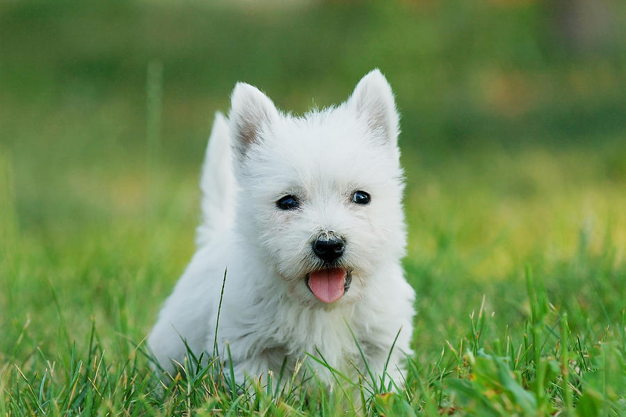 Lil' Dog Whisperer: Fun and Feisty, The West Highland Terrier