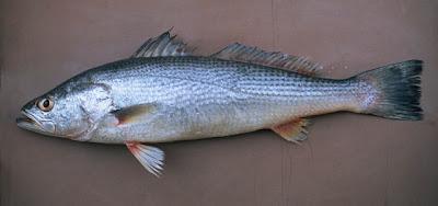 Pescadilla de red Cynoscion guatucupa
