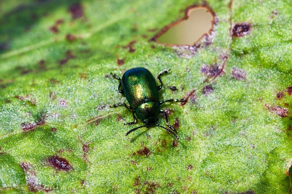 Unknown beetle 2 - Lodge Lake, Milton Keynes