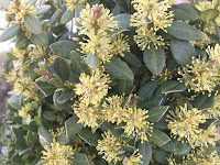 Buxus sempervirens flower