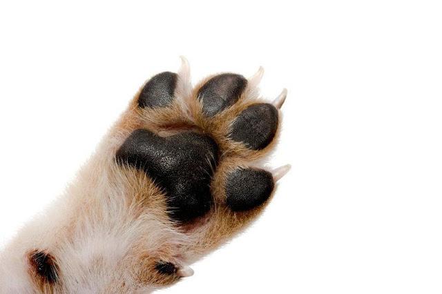 Bạn có biết: Chân chó có rất nhiều tác dụng không?
