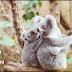 Where does the koala bear live?