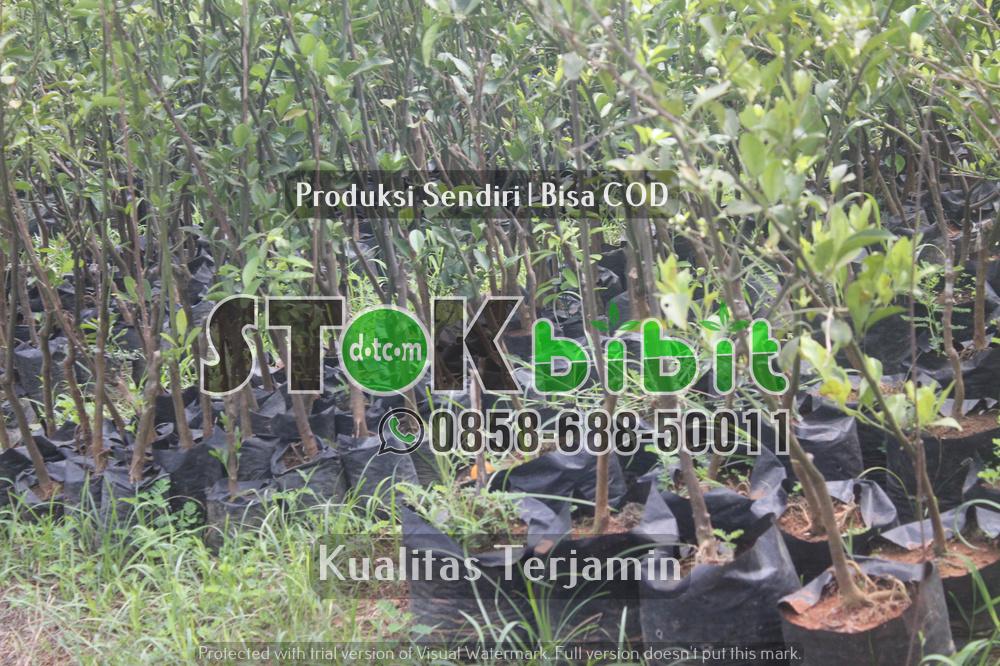 Budidaya Mahoni: Cara melakukan penyemaian biji Mahoni      Unggul     Berkwalitas