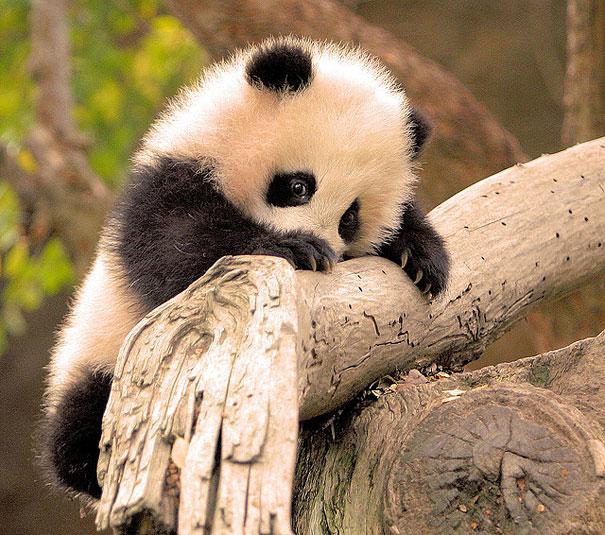 Green Pear Diaries, animales bebé, crías, tiernos, panda