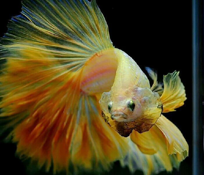 Download 1070+ Gambar Kartun Ikan Cupang Cantik HD Terbaik