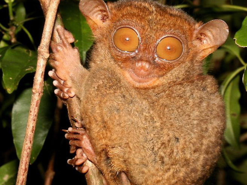 Cute Pet Dogs Wallpapers Tarsier Pictures And Wallpapers Animals Library