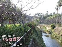2016年1月沖繩櫻花實況速報
