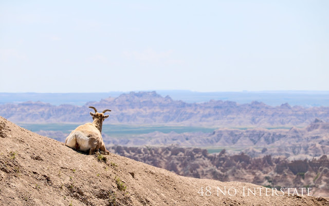 48 No Interstate back roads cross country coast-to-coast road trip Badlands National park wildlife sighting