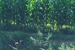 Tutorial cara budidaya tanaman jagung manis dengan baik dan benar