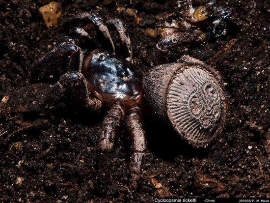 Cyclocosmia Ricketti - aranha rara - abdome forma de cone
