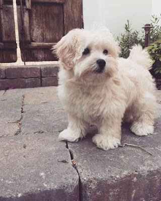 Lucy Hale's maltipoo dog Elvis