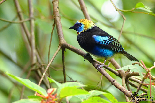 Golden-hooded Tanager - Tangara larvata