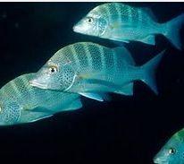 Jenis Ikan Laut Hias Aquarium Snappers