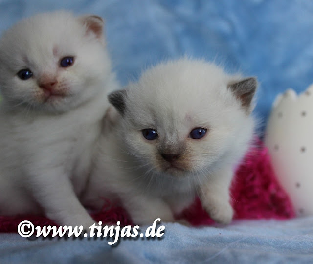 BKH Kitten drei Wochen chocolate point