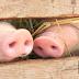 Video: En China nace un cerdo con 'cara humanoide'