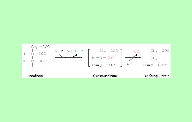 Isositrat Dehidrogenase Siklus Krebs