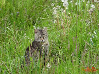 Pisica in iarba
