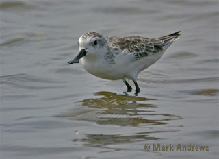 Image of Spoon-Billed Sandpiper photographed by Mark Andrews.