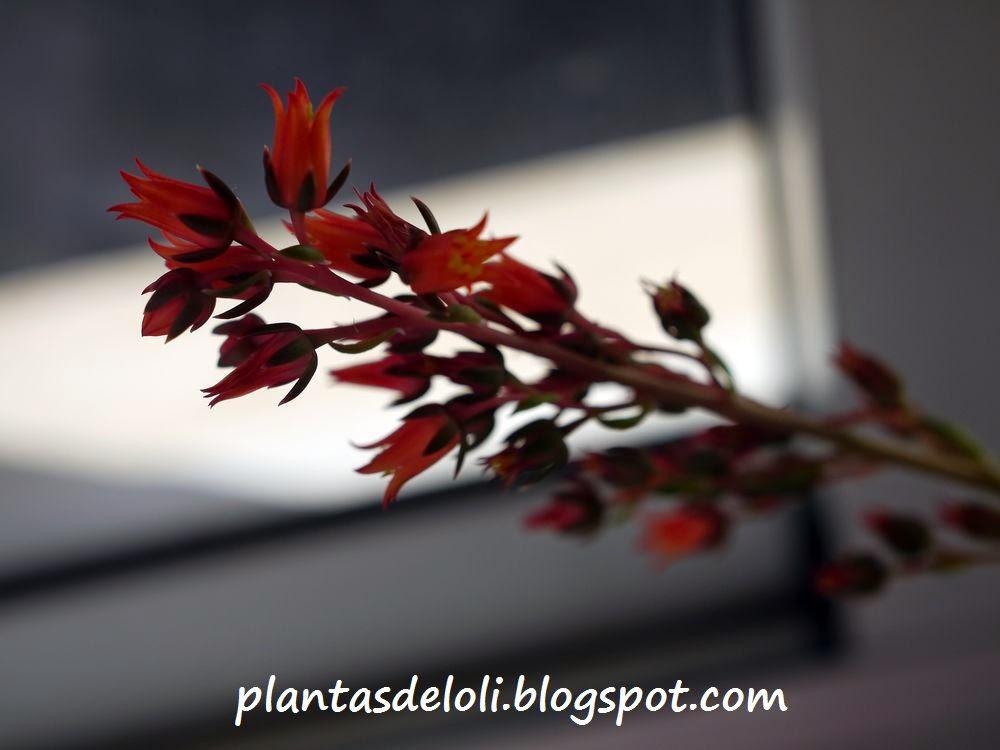 Flor de Echeveria Black Prince