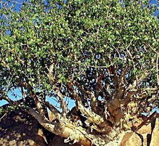 Manfaat dan Khasiat Tanaman Mur (Commiphora Myrrha Arn.)