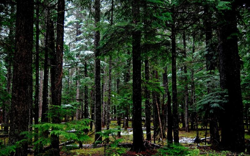 #Coníferas, Florestas de Coníferas