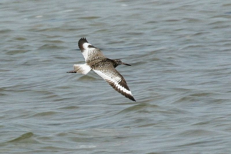 http://commons.wikimedia.org/wiki/File:Willet_%28Tringa_semipalmata_semipalmata%29_in_flight_%283972953660%29_%282%29.jpg