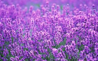 jual-benih-lavender-murah.jpg
