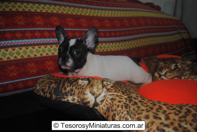 Bulldog Francés en Venta