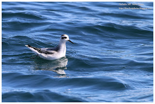 https://bioclicetphotos.blogspot.fr/search/label/Phalarope%20%C3%A0%20bec%20large%20-%20Phalaropus%20fulicarius