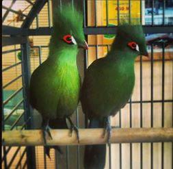 Guenia turaco,si burung cantik dari Afrika yang kini bisa dimiliki di Indonesia