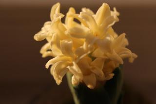 hiacynt, kwiaty zimą, poczuć wiosnę