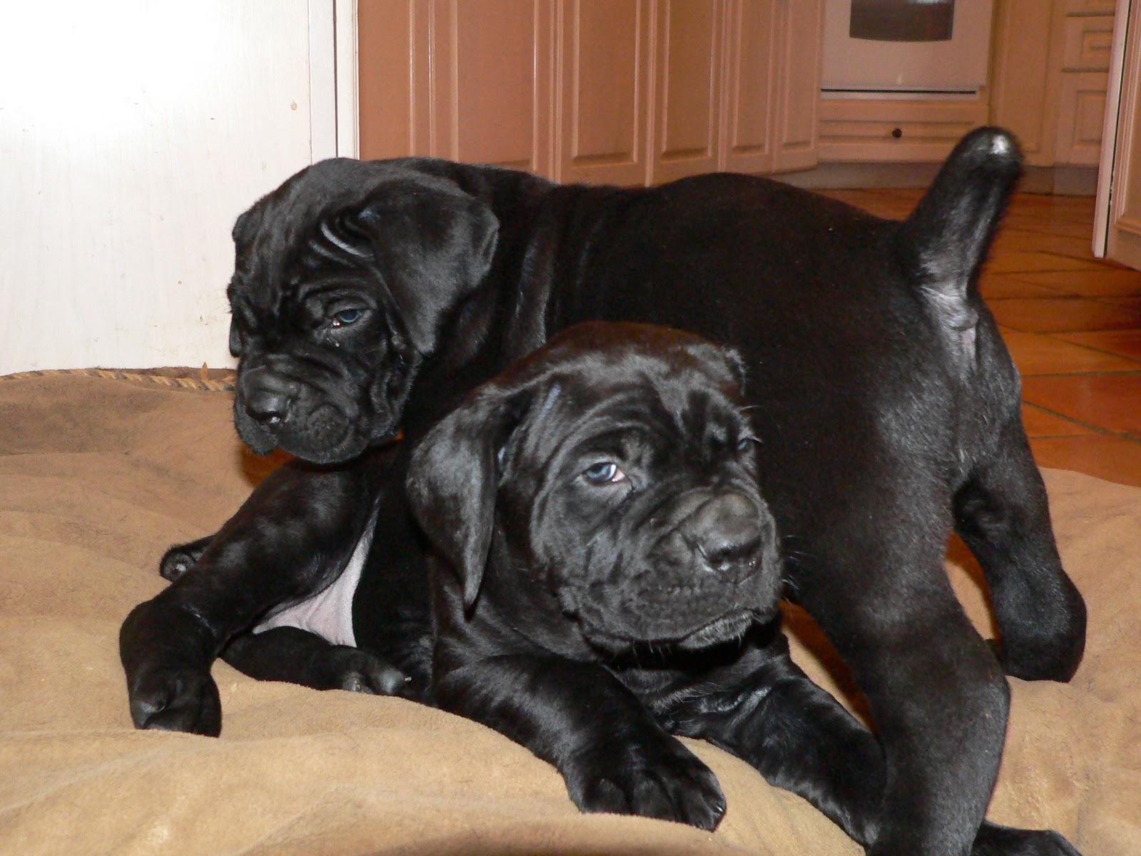 Black Pearl Cane Corso News: Zsrina X Saggio puppies are 5 ...
