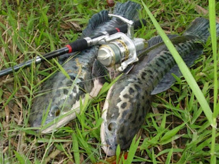 Umpan Ikan Toman