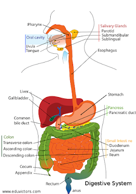 CBSE Class 10 - Biology - Digestive Organs and Their Functions (#cbsenotes)