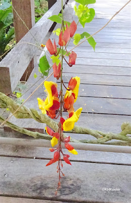 Clock vine flower, Thunbergia mysorensis, Asian vine