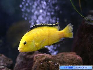 Labido jaune - Labidochromis caeruleus