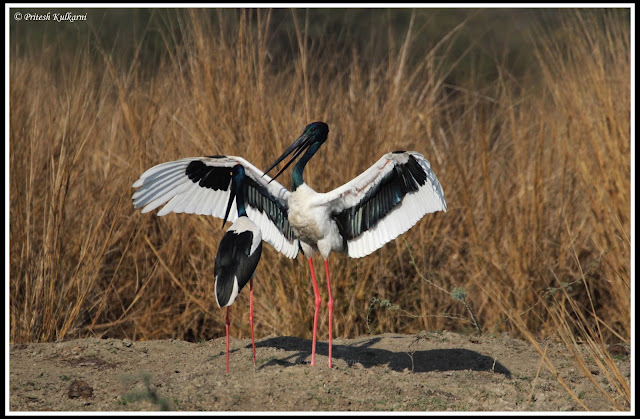 Black necked stork wing display at Bharatpur