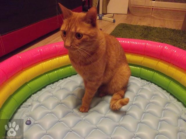 kot w basenie