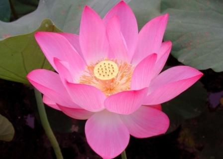 7 Khasiat Biji Bunga Teratai Untuk Kesehatan Dan Kecantikan