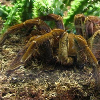 Goliath Bird Eating Spider World Strange Facts