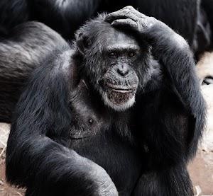 Siasat Mеnаklukkаn Monyet