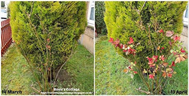 Roses comparison March till April