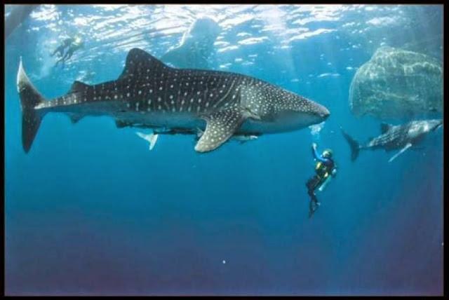 Snorkeling di wisata Pulau Nusi