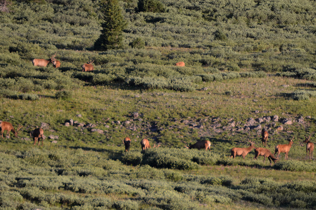 elk group with antlers