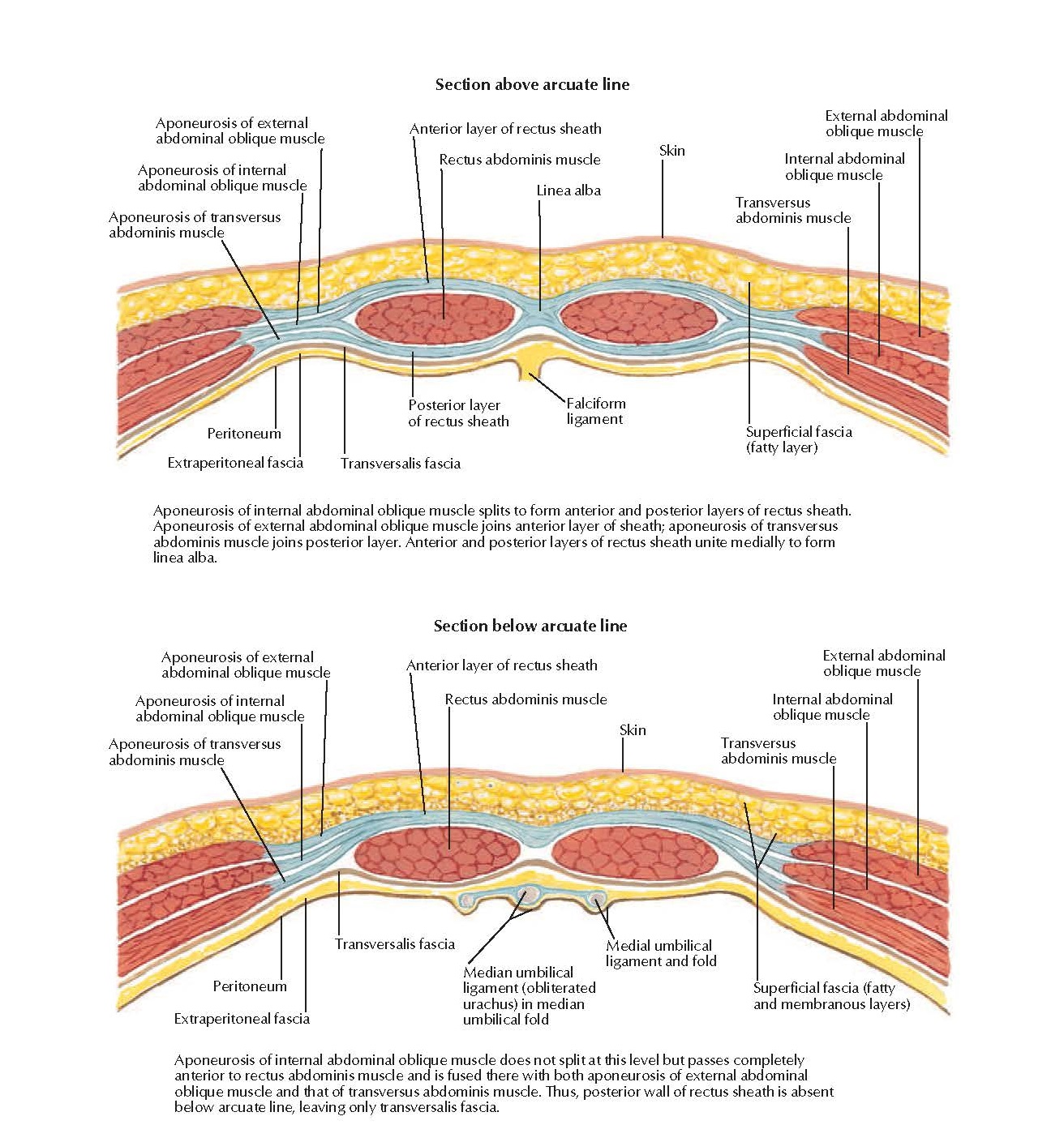 Rectus Sheath: Cross Section Anatomy  Section above arcuate line, Aponeurosis of external abdominal oblique muscle, Anterior layer of rectus sheath Rectus abdominis muscle, Linea alba, Skin, External abdominal oblique muscle, Internal abdominal oblique muscle, Transversus abdominis muscle, Peritoneum, Posterior layer of rectus sheath, Falciform ligament, Extraperitoneal fascia Transversalis fascia, Aponeurosis of external abdominal oblique muscle, Aponeurosis of internal abdominal oblique muscle, Aponeurosis of transversus abdominis muscle, Section below arcuate line, Anterior layer of rectus sheath, Transversus abdominis muscle, Peritoneum, Extraperitoneal fascia, Medial umbilical ligament and fold, Superficial fascia (fatty and membranous layers), Aponeurosis of internal abdominal oblique muscle does not split at this level but passes completely anterior to rectus abdominis muscle and is fused there with both aponeurosis of external abdominal oblique muscle and that of transversus abdominis muscle. Thus, posterior wall of rectus sheath is absent below arcuate line, leaving only transversalis fascia.