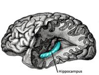 limbic system hippocampus