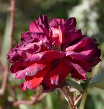 Mawar layu berarti keindahan sesaat