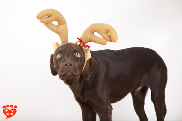 Dog body language quiz: Is this dog fearful? A chocolate lab in a reindeer  hat