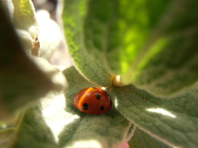 MARIQUITA: Coccinella septempunctata